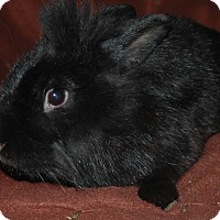 Lionhead Mix for adoption in Idaho Falls, Idaho - Little Bit