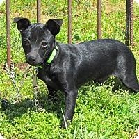 Adopt A Pet :: PIXEL - Bedminster, NJ