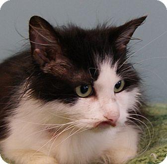 Domestic Longhair Cat for adoption in Monroe, Michigan - Meesha