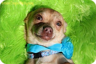Chihuahua Dog for adoption in Vass, North Carolina - Romeo