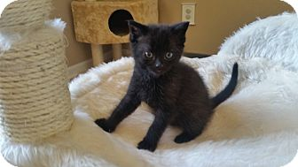 Domestic Shorthair Kitten for adoption in Turnersville, New Jersey - Fonzie