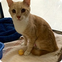Adopt A Pet :: Dixon (in CT) - Manchester, CT
