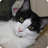 American Shorthair Cat for adoption in New Richmond,, Wisconsin - Izzie