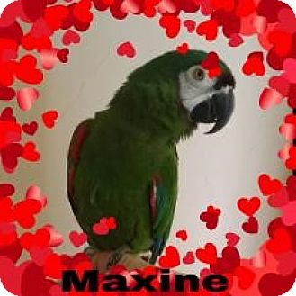 Macaw for adoption in Red Oak, Texas - Maxine