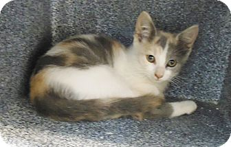Domestic Shorthair Kitten for adoption in Henderson, North Carolina - Newton Kittens (4)