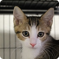 Domestic Shorthair Cat for adoption in Sarasota, Florida - Bigby