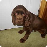 Cocker Spaniel Puppy for adoption in Kannapolis, North Carolina - Dale