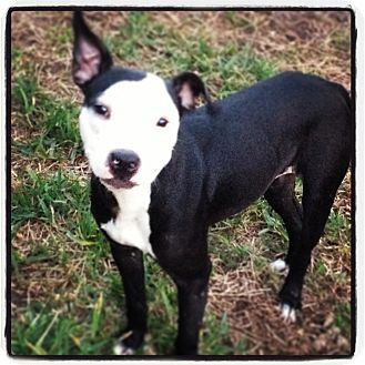 American Pit Bull Terrier Mix Dog for adoption in Winter Haven, Florida - Faith
