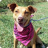 Adopt A Pet :: BUTTERSCOTCH - Glastonbury, CT