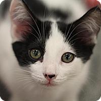 Adopt A Pet :: Sig - Sacramento, CA
