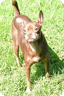 Chihuahua Dog for adoption in Chattanooga, Tennessee - Blessing