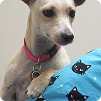 Adopt A Pet :: Hazy - San Diego, CA