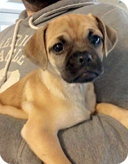 pug rescue ny larchmont ny pug mix meet paige a puppy for adoption 1679