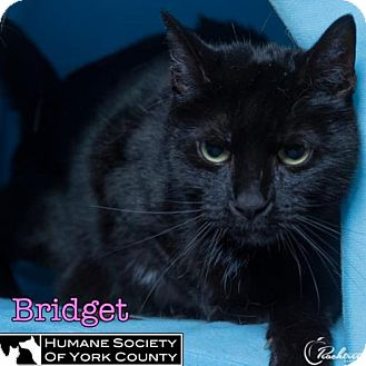 Domestic Shorthair Cat for adoption in Fort Mill, South Carolina - Briget