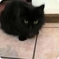 Adopt A Pet :: Midnight - Delmont, PA