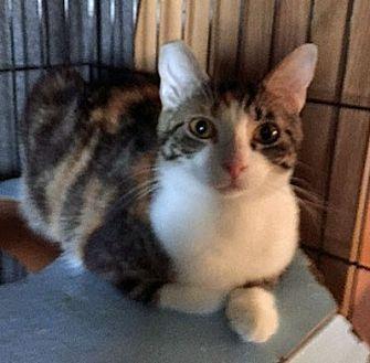 Domestic Shorthair Cat for adoption in Monrovia, California - Midori