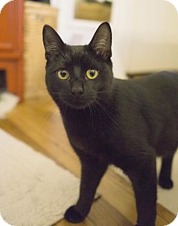 Domestic Shorthair Cat for adoption in Alameda, California - Kit
