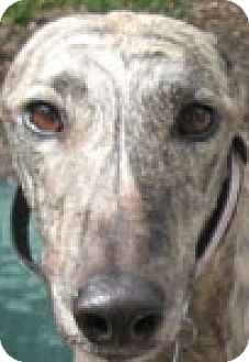 Greyhound Dog for adoption in Canadensis, Pennsylvania - Brooke