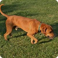 Adopt A Pet :: Lewis - Brattleboro, VT