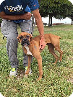 Boxer Dog for adoption in Austin, Texas - Twitter