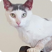 Domestic Shorthair Cat for adoption in Naperville, Illinois - Remy- $65 - DEAF - LOVER!!