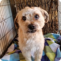 Maltese/Terrier (Unknown Type, Small) Mix Dog for adoption in TAHOKA, Texas - TOTO