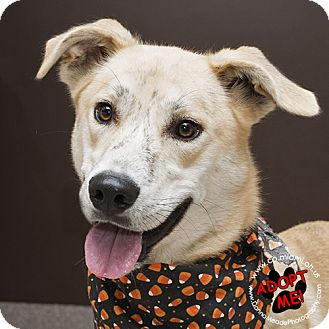 Labrador Retriever Mix Dog for adoption in Troy, Ohio - Chase