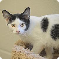 Domestic Mediumhair Kitten for adoption in San Leon, Texas - Humphrey