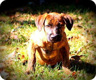 Shepherd (Unknown Type)/Boxer Mix Puppy for adoption in Glastonbury, Connecticut - Mace
