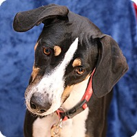 Foxhound Mix Dog for adoption in Yucaipa, California - Ladybird