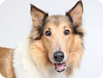 Collie Dog for adoption in Edina, Minnesota - Cassie D161827: PENDING ADOPTION
