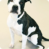 Pit Bull Terrier Mix Dog for adoption in Appleton, Wisconsin - Molly