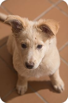Australian Shepherd/Australian Cattle Dog Mix Puppy for adoption in Grand Canyon Village, Arizona - Snowflake