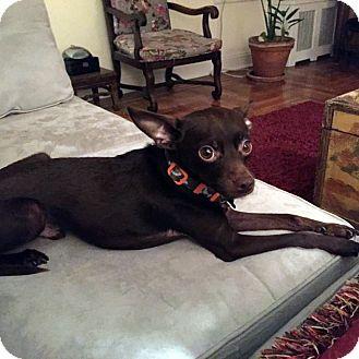 Chihuahua Mix Dog for adoption in New York, New York - Choco!