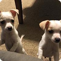 Adopt A Pet :: Hans - Las Vegas, NV