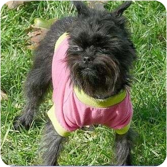 Affenpinscher Dog for adoption in Mesa, Arizona - GRETCHEN - ADOPTION PENDING