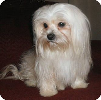 Shih Tzu Dog for adoption in Mooy, Alabama - Rosie