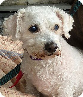 Little Girl Adopted Dog Carmel Ny Poodle Miniature