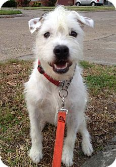 Parson Russell Terrier Mix Dog for adoption in Dallas, Texas - Roo