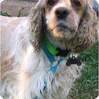 Adopt A Pet :: Sandy - Sugarland, TX
