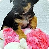 Adopt A Pet :: Expresso-Adoption pending - Bridgeton, MO