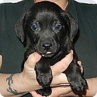 Adopt A Pet :: Norm - South Jersey, NJ