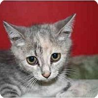 Adopt A Pet :: NANCY - SILVER SPRING, MD
