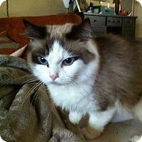 Adopt A Pet :: Scout - Beverly Hills, CA