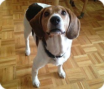 Hamilton Hound Mix Hamilton, ON - Beagle ...