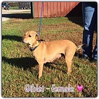 Adopt A Pet :: Giblet - Harmony, Glocester, RI