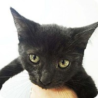 Domestic Shorthair Kitten for adoption in Harrisonburg, Virginia - Slightly