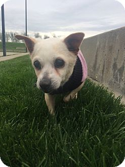 Chihuahua Mix Dog for adoption in Clayton, California - Butterfly