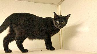 Domestic Shorthair Cat for adoption in Indianola, Iowa - C15