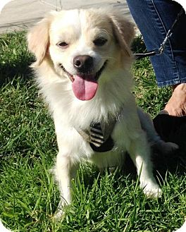 Spaniel (Unknown Type) Mix Dog for adoption in Los Angeles, California - Colton